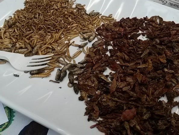 Entomophagy at Ness Gardens for British Science Week, 12th March 2016